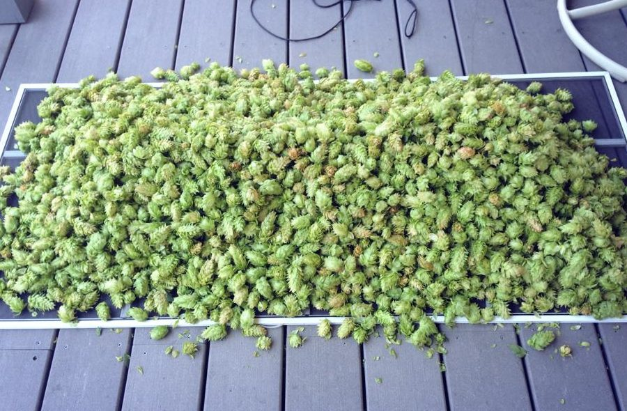 drying hops on an oast